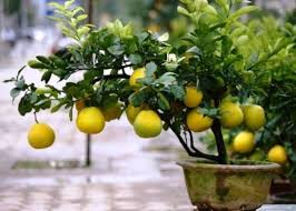 pomelo-co-to-owoc